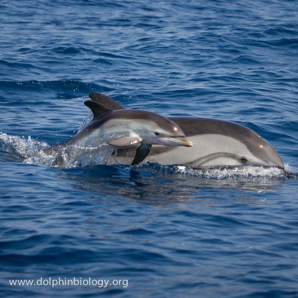 230_www_dolphinbiology_org.jpg (600×600)