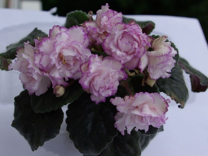 from Orion african violet gay paris