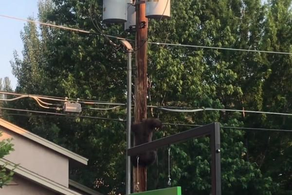 Bear gets electric shock atop utility pole at Colorado Starbucks
