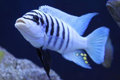 Maisoni Reef
