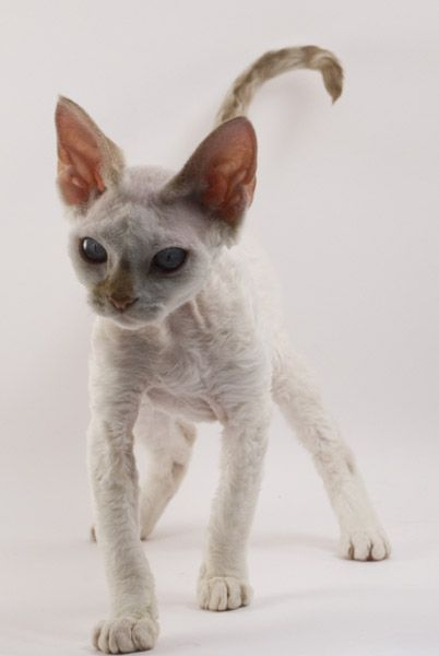 Devon Rex, Cat that does not shed I love this little kitty! How cute! Sorry but I have a Devon Rex and he does shed