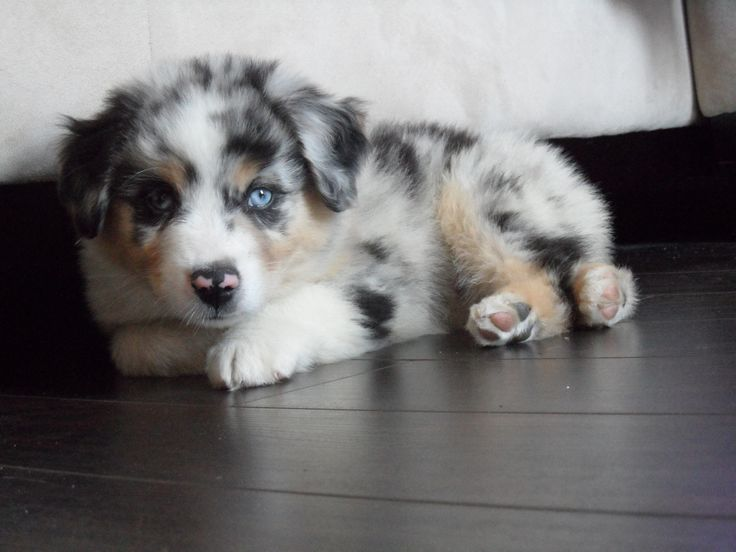 My beautiful mini Australian Sheppard Eli :)  Want want want want. So cute!!