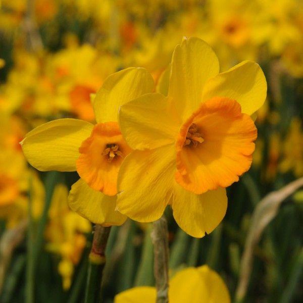 41 besten Garten Zwiebel- \ Knollenblumen Bilder auf Pinterest - kies garten gelb