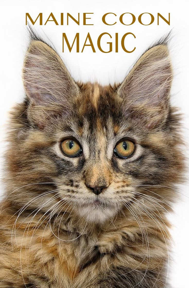 55 best cat breeds images on pinterest cat site cat breeds and