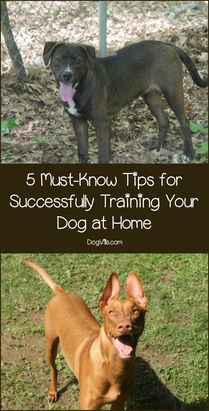 5 Must Know Tips For Successfully Training Your Dog At Home Dog
