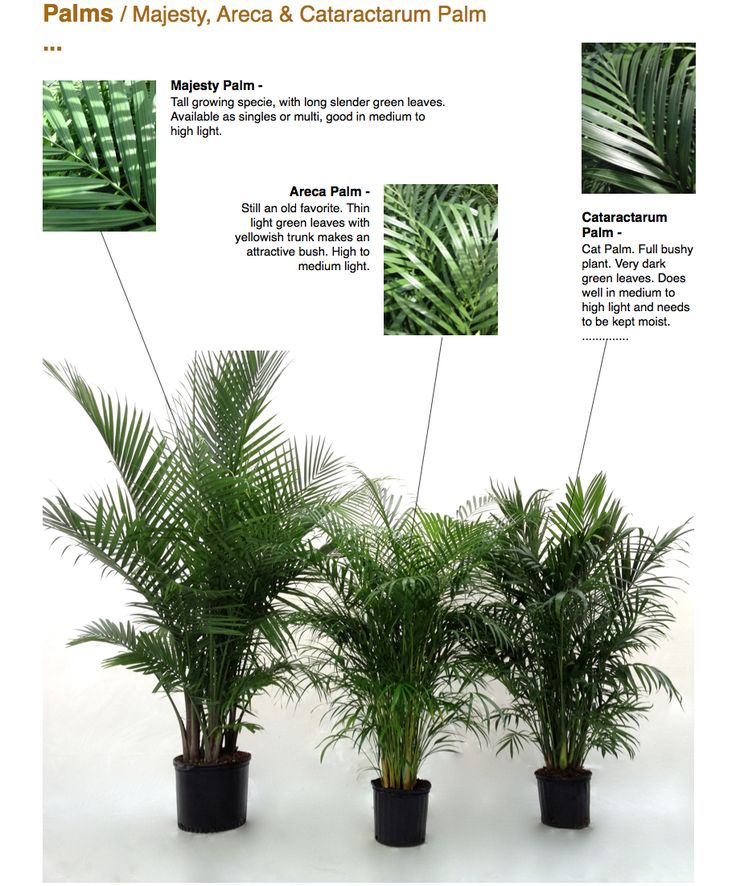The 25 Best Majesty Palm Ideas On Pinterest Potted