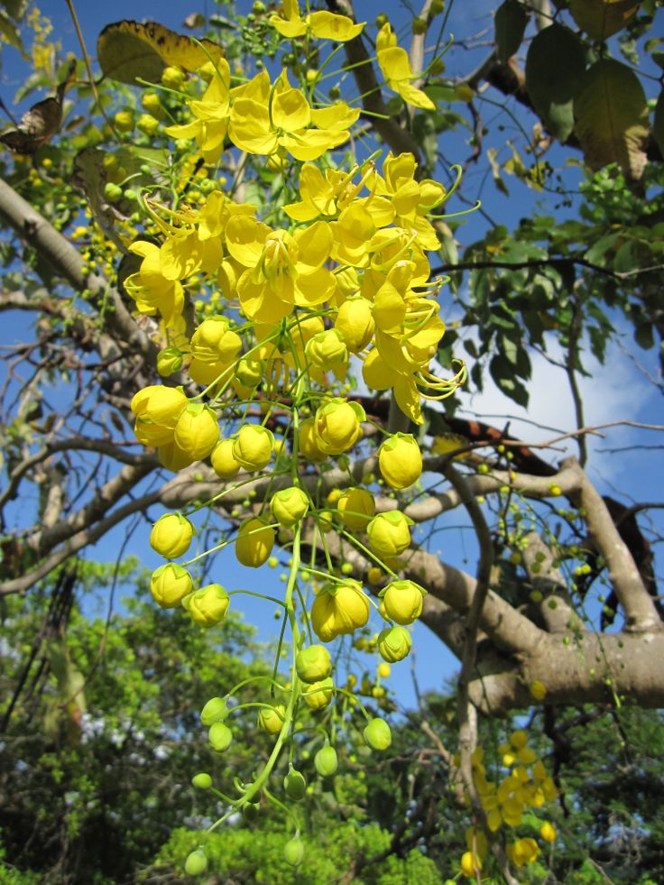 69 best cassia fistula images on Pinterest Rain Beautiful and