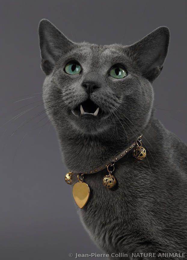Portrait d'un chat Bleu Russe avec collier@@
