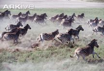 Herd of plains zebra stampeding