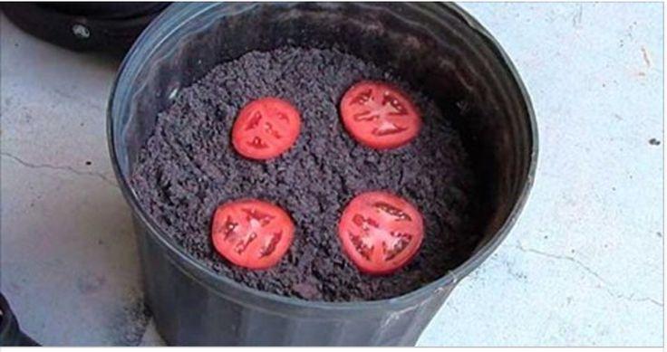 Coloque 4 rodelas de tomate em 1 vaso e faça isto... Depois de 10 dias, você vai se surpreender! | Cura pela Natureza