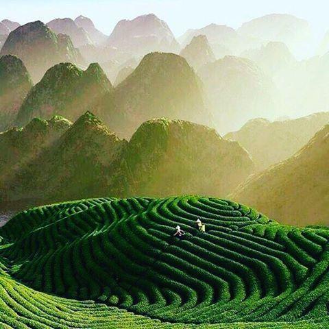 Чайные поля, Китай. #nature2russ