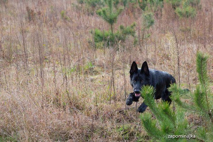# black german shepherd