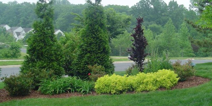 Nice Green Giant Arborvitae Combination Mixed With Shrubs