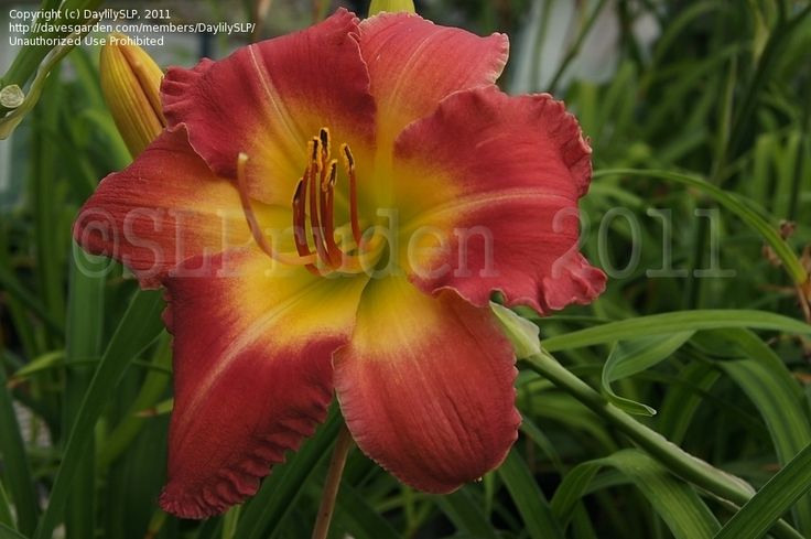 14 Best Garden Collection Daylilies Images On Pinterest Seeds Lilies And Lily
