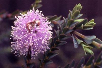 Melaleuca decussata • Australian Native Plants • Plants • 800.701.6517