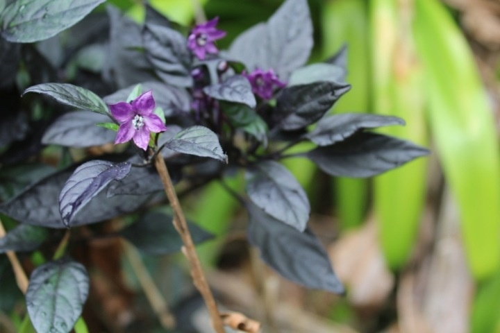 The flowers of the black pearl chilli are also very striking.