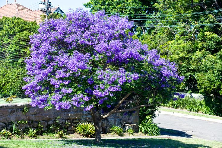 As well as being superb street trees, jacarandas look stunning on their own as a specimen tree in an open lawn, where their fallen flowers form a colourful carpet of blue. Description from burkesbackyard.com.au. I searched for this on bing.com/images