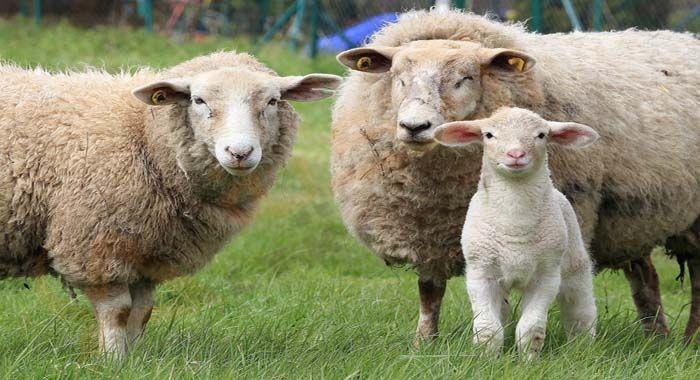 تفسير حلم رؤية الغنم في المنام دلالات الغنم الأسود في الحلم للعزباء والمتزوجة والحامل والرجل معنى الغنم الميتة رؤيا الغنم ا Animal Behavior Sheep Sheep Farm