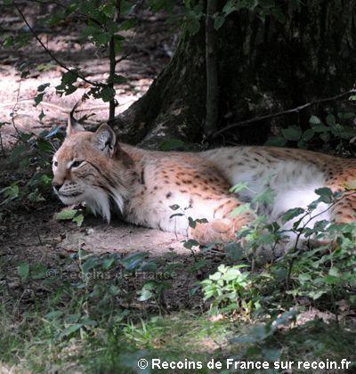 Lynx boréal, mammifères, Vosges
