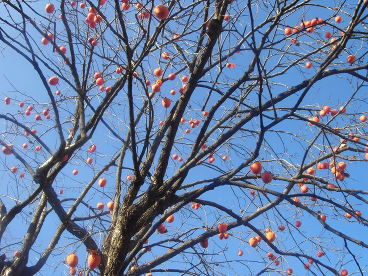 2015.12.5. Persimmon tree in the garden. On the way to go to the downtown Shinchon.