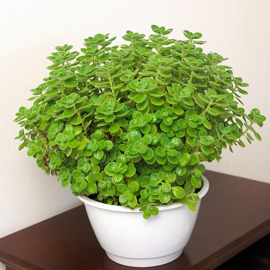 Cuban oregano is fabulous in an outdoor planter and also makes a great house plant