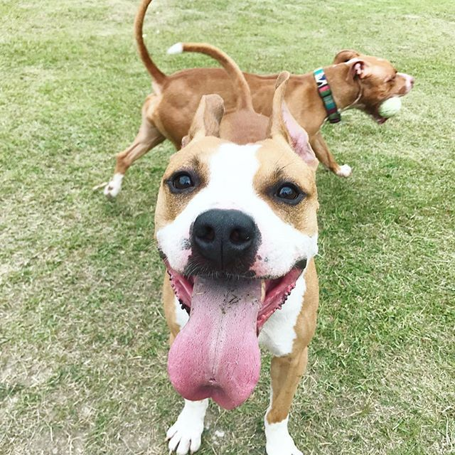 Eight😛❤️ #pit#pitbull#pitbulls#dog#doggy#cute#love#lovedog#doglife#boss#dad#ピットブル#アメリカンピットブルテリア#ワンコ#家族#愛犬#多頭飼い#公園