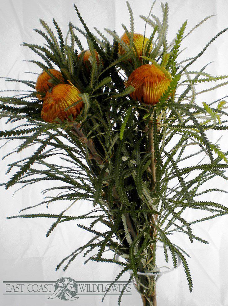 Dryandra formosa - Available July-Sept. Golden orange tufty native Australian flower with zigzag foliage