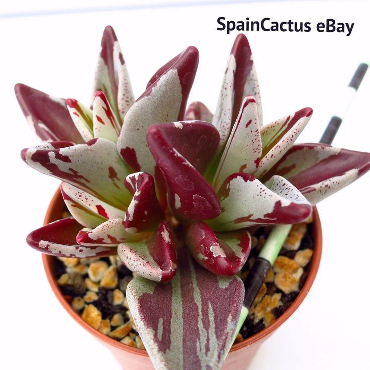 Lenophyllum guttatum RED VARIEGATE COLORS BIG SIZE rare succulent plant 9/5 | eBay
