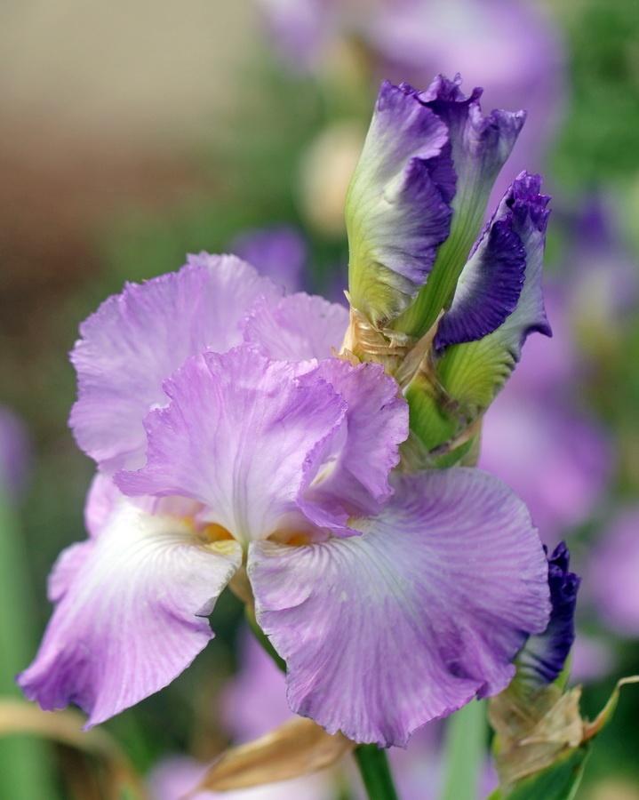 Iris Buds and Bloom by Mike Oberg: Mike Oberg, Macro Flower, Bloom Bud, Photographers Iris, Iris Bud, Gorgeous Flower, Gardens Flower, Flower Ideas, Irresistible Iris