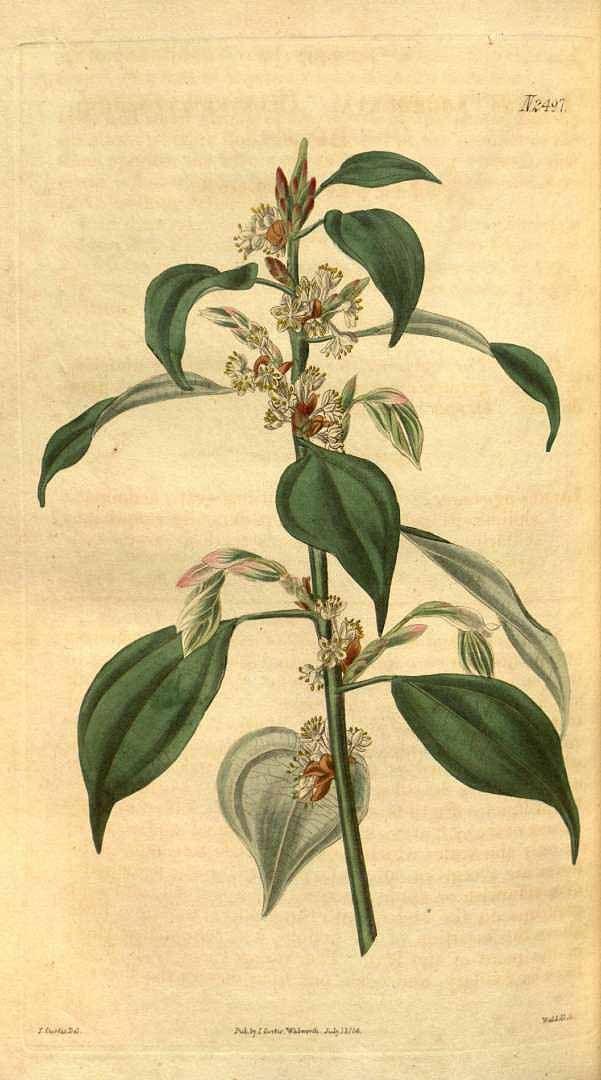 Wu Yao | Lindera aggregata (Sims) Kosterm.  [as Laurus aggregata Sims]  / Curtis's Botanical Magazine, t. 2441-2522, vol. 51: t. 2497 (1824) [J. Curtis]
