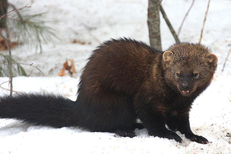 Fisher (Martes pennanti / Pekania pennanti). Massachusetts, USA. Photo by Tom Murray (at http ...