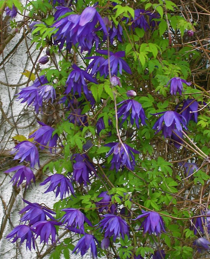 clematis alpina clematis pinterest clematis gardens. Black Bedroom Furniture Sets. Home Design Ideas