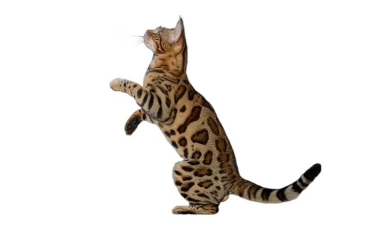 Contact us for where to get bengal cats for sale, and which bengal cats are available. More information on bengal cat prices and how we send your new bengal kitten to you.
