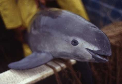 Vaquita - This is the world's smallest dolphin, and is from the Northern Gulf of California and Mexico.