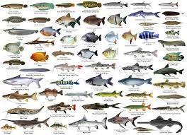 Bass - Robalo   Mullet - Tainha   Carp - Carpa   Bluefish - Anchova   Tuna - Atum   Cod Fish- Bacalhau   Trout - Truta   Sole/ Flounder -...