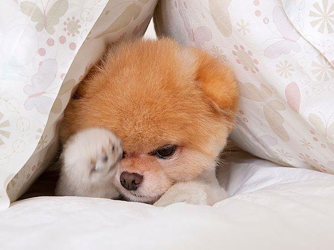 Boo, The World's Cutest Dog (6-year-old pomeranian dog of Facebook Employee, Irene Ahn)