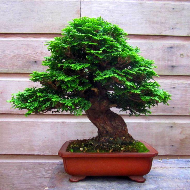 bonsai | Henk-Fresen-Bonsai | Yamadori and Bonsai material from Tony Tickle