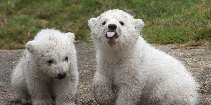 Osos polares bebés