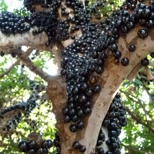 frutto jabuticaba - Cerca con Google