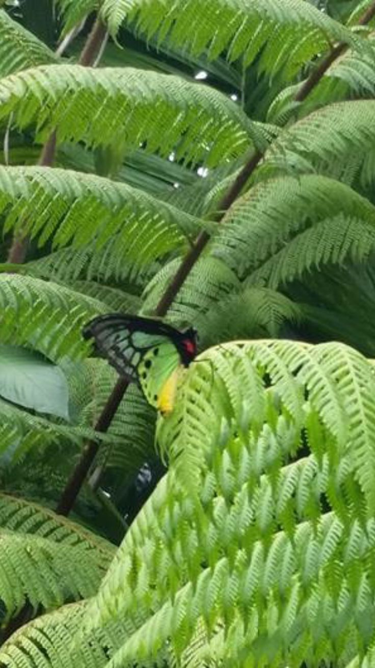 Queen Alexandria Butterfly, the largest female butterfly in the world, found in Oro Province, Papua New Guinea