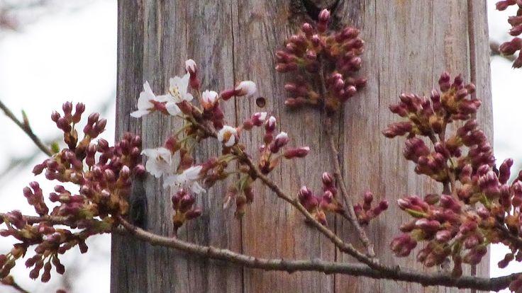 石割桜 国の天然記念物