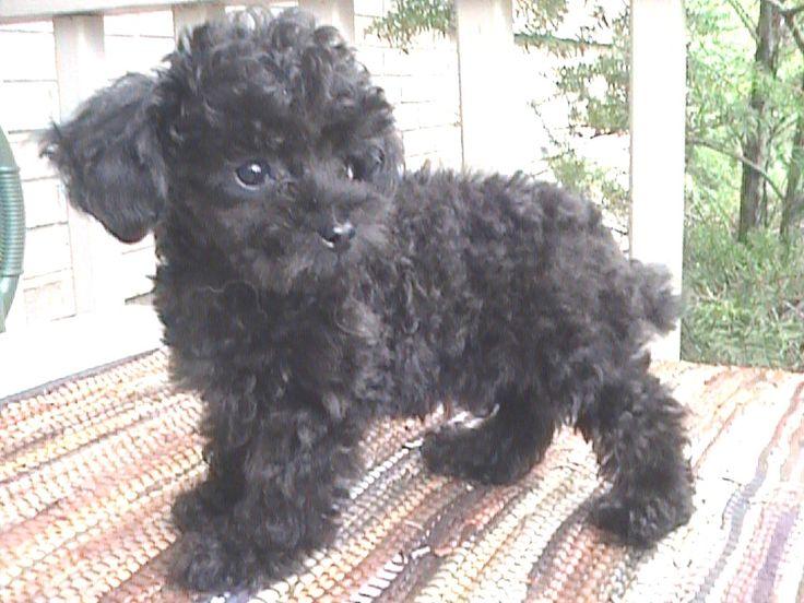 photographs of miniture poodles | JUNE 2005 LITTER - SHANANIGAN'S TEACUP POODLES
