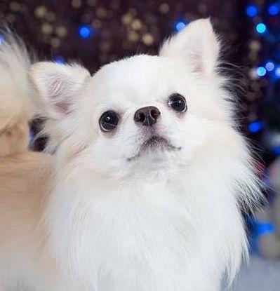 #CleanIngredients  Testimonianza da un allevamento di Chihuahua, Russia #dogs #cats