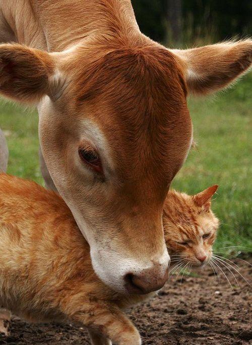 Vache + chat