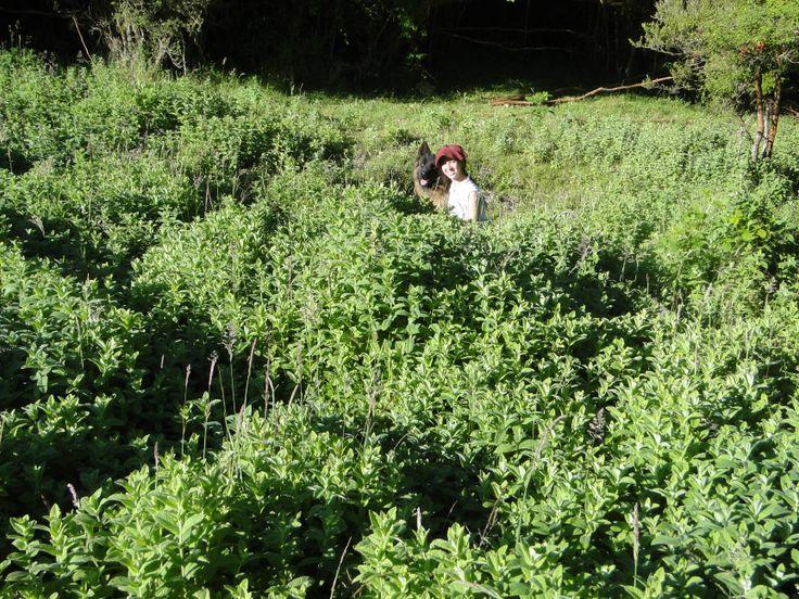 Hierbas medicinales y aromáticas