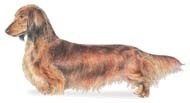 Gorgeous standard red/black long-haired...the only kind of doxie in my book ;)