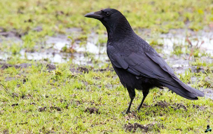 The Crow - weiland naast de Woerthe (Uffelte) [sigma 50-500@500mm 1/800s f/11 iso2500 spot-metering]
