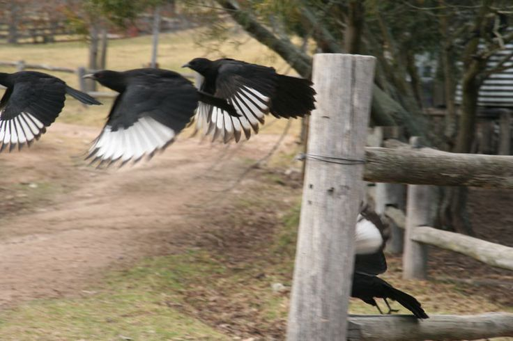 Our resident  white-winged chough taking flight. These amusing birds wander around  in the Alfresco area.