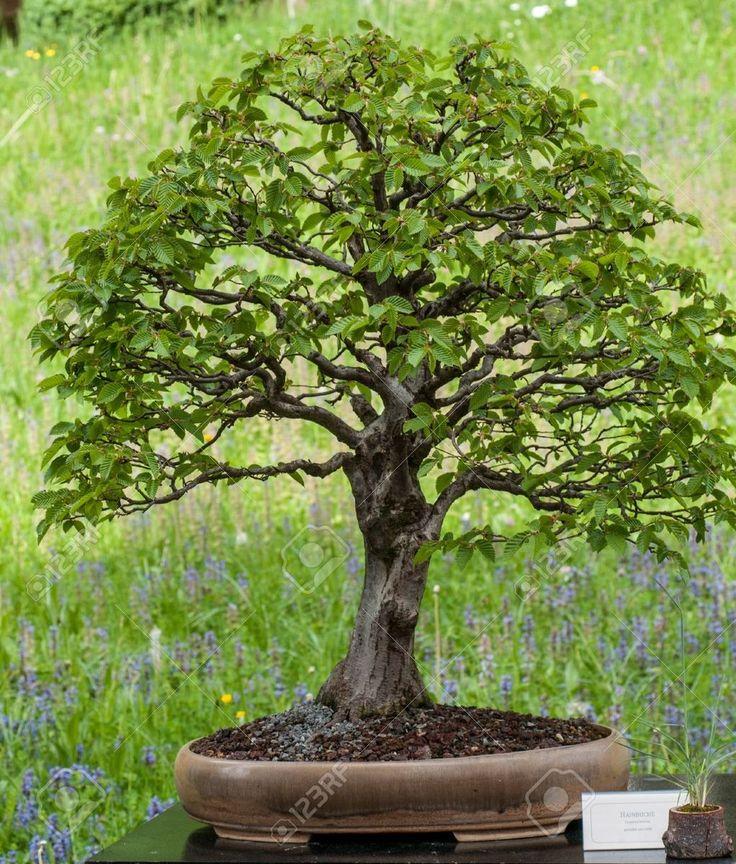 Carpinus betulus, Hornbeam Very popular trees for bonsai art : Acer, Beech, Fagus, Maple, Oak, Quercus, Picea, Spruce, http://stores.ebay.co.uk/Live-Aquarium-Pond-Plants-Shop/Bonsai-/_i.html?_fsub=6239198015