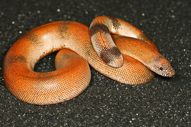 Rosy Boa and Sand Boa Captive Care and Natural History